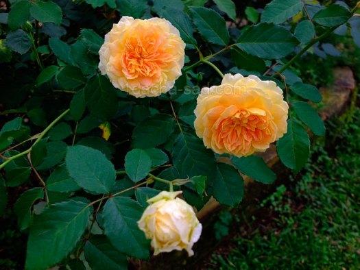 Фото шикарных роз из королевского парка 7