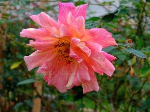 Фото красивых роз из королевского парка 1