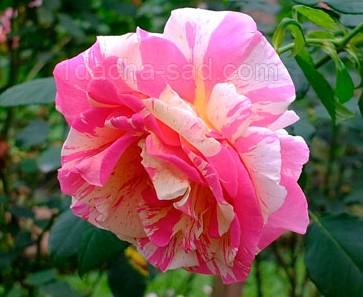 Фото шикарных роз из королевского парка 11