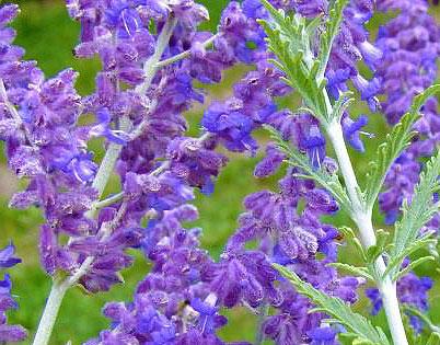 Цветы перовскии