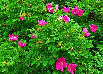Роза морщинистая - сорт Rubra
