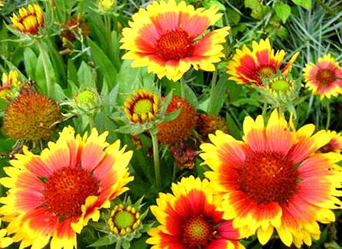 Яркие цветы рудбекии