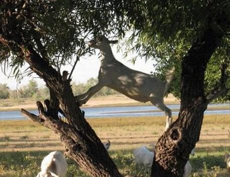 Коза грызет плодовое дерево