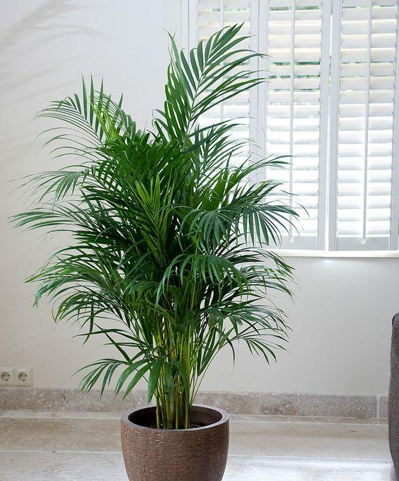 Комнатная пальма Dypsis lutescens