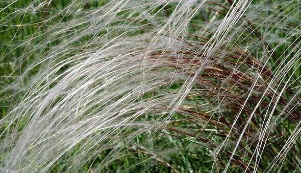 iarba uimitoare pierde in greutate)