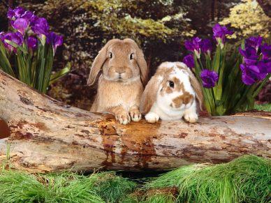 Domestic_rabbits