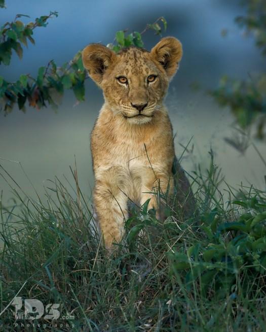 Lion Cub - Kenya