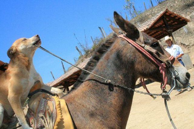 Dog Riding a Donkey 2  1Funnycom