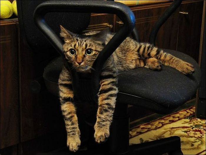 Cat on Chairs  1Funnycom
