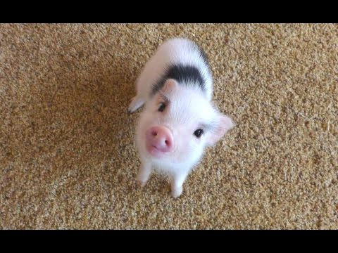 Cute Pink Pig Wallpaper Cute Mini Pigs Compilation 2016 1funny Com