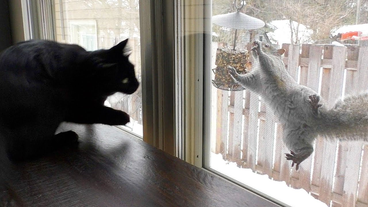 Cats VS Squirrels Kitty TV  1Funnycom