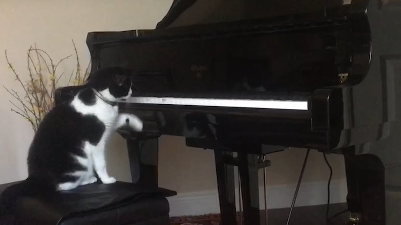 Piano Cat Loves Player Piano  Viral Videos  1Funnycom