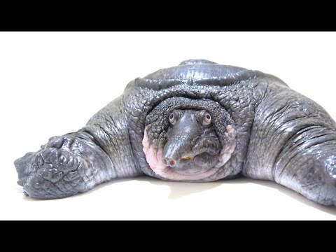 A Really Squishy Turtle 1funny Com