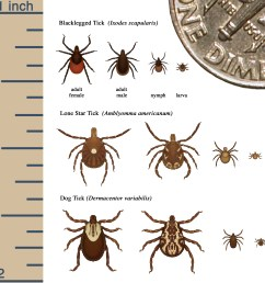cdc s tick identification chart illustrates the size and appearance of theblacklegged tick lone star tick [ 2741 x 2700 Pixel ]