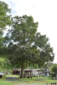 平田屋の前にある大きな木