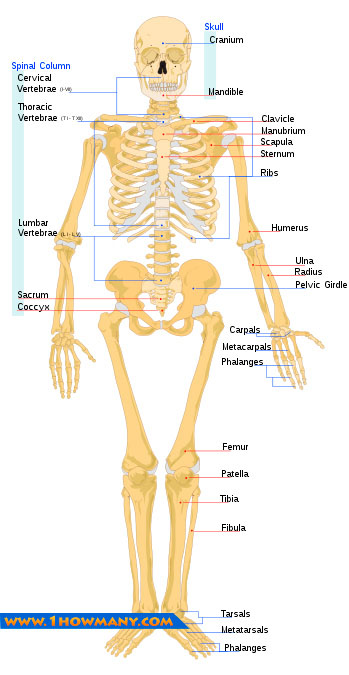 names of bones in human skeleton diagram radio wiring 2003 dodge neon how many the body