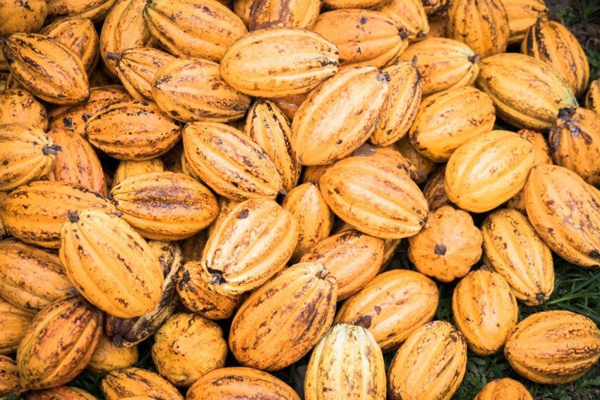 guadeloupe, nature, verte, vieux habitants, grivelière, basse terre, cacao