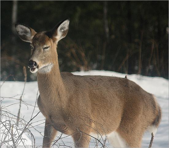 Deer Cough