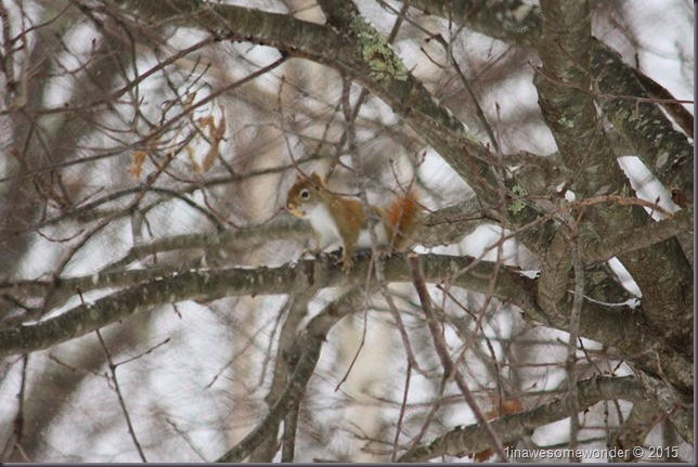 Red Squirrel with peeled nut on a branch