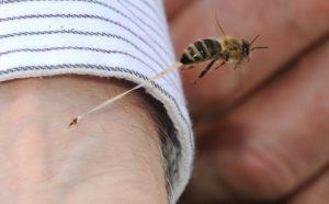 bičių įgėlimas varpoje nėra nuolatinės erekcijos priežasties