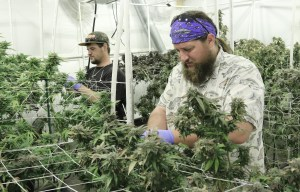 Paul inspects plants in the grow room