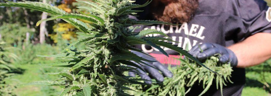 Cannabis Garden