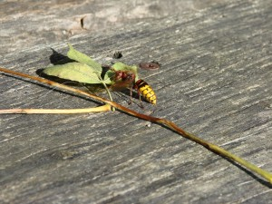 Hornet activity