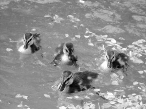 1 Picture 1 Word Duckling in B & W