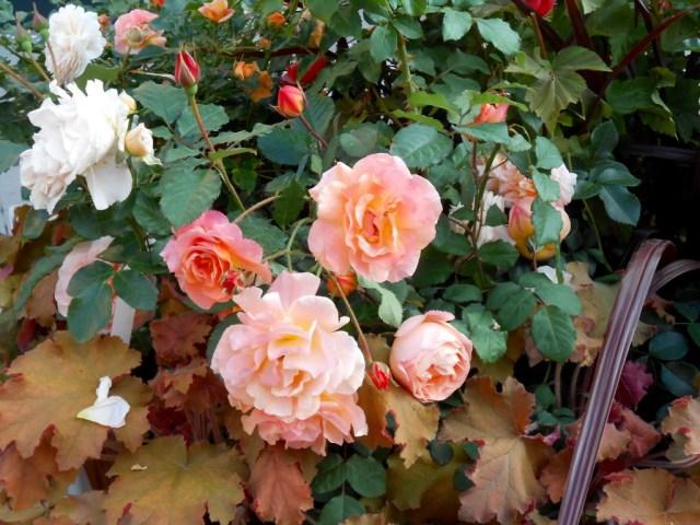 Rose4Tomorrow (8)