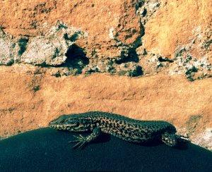 Lizard Model