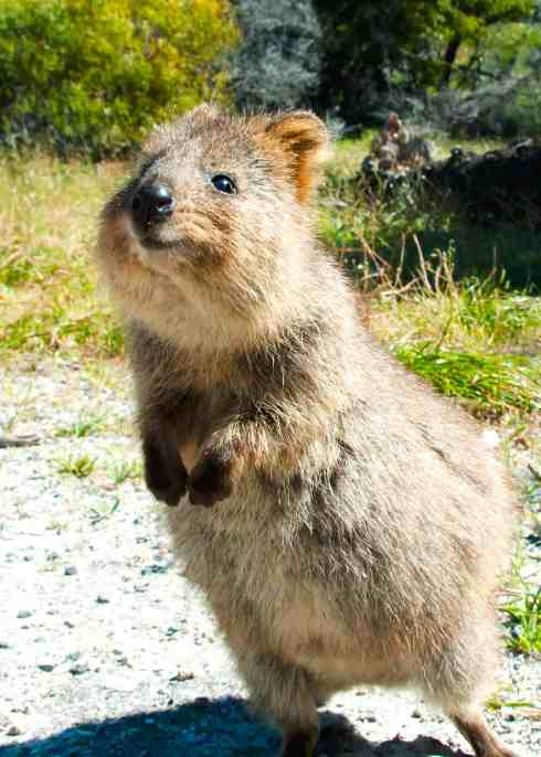 50 Quokka Facts: Smiling, Baby-Flinging, Selfie Kings ...
