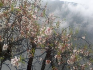 ALMOND TREE IN BLOOM 5