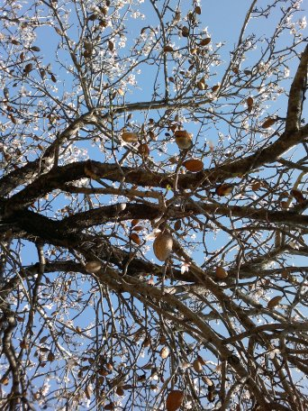 ALMOND TREE IN BLOOM 6