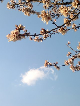 ALMOND TREE SKY CLOUD