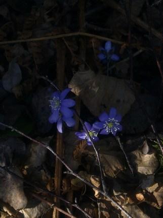 BLUE ANEMONE 12