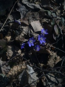BLUE ANEMONE 8