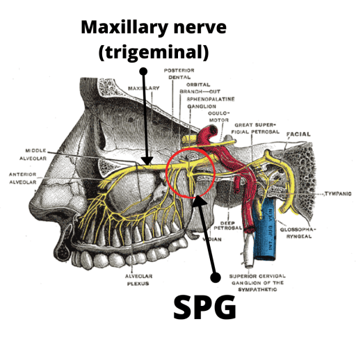 cross-section of face showing maxillary nerve