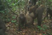 World's rarest gorillas sighted in Nigeria
