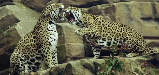 Animals fighting