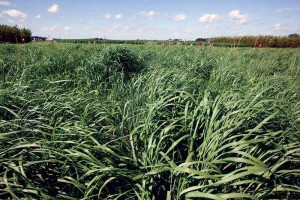 Switchgrass is a North American native prairie grass widely viewed as one of the most promising of all the biofuel crop candidates. (Photo courtesy of GLBRC)