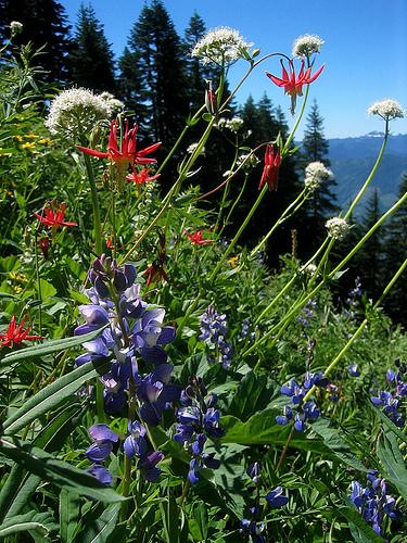 mt sauk flowers