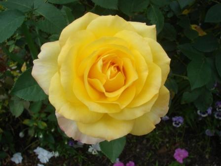yellow-rose-051