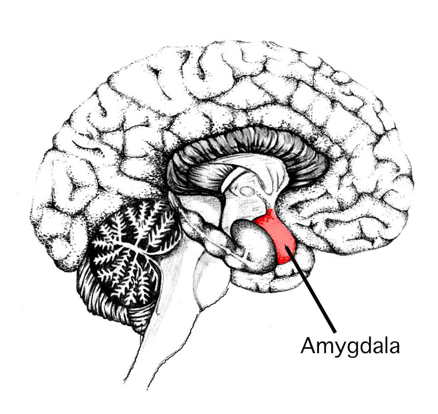 Amy's Amygdala: the emotional brain that controls fight-or