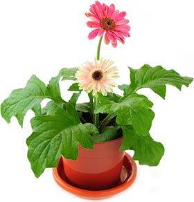 Gerbera jamesonii - Barberton Daisy