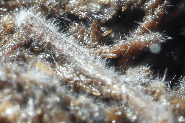 ヤコウタケ栽培キット 白いモサモサ