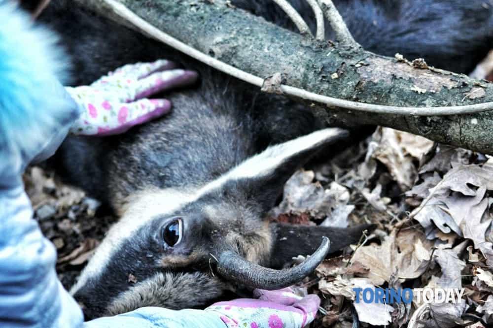 Val Germanasca salvato un camoscio ferito era sotto alcuni tronchi