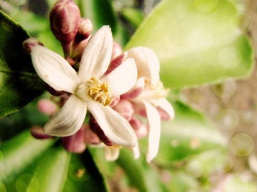 Lemon blossom (via leis bell)