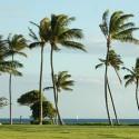 Palm Trees in Hawaii. Photo: Jphilipson