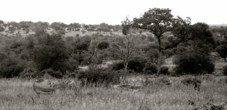 Setswana: Phala. English: Impala. Scientific: Aepyceros melampus