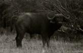 Setswana: Nare. English: Cape Buffalo. Scienific: Syncerus caffer.